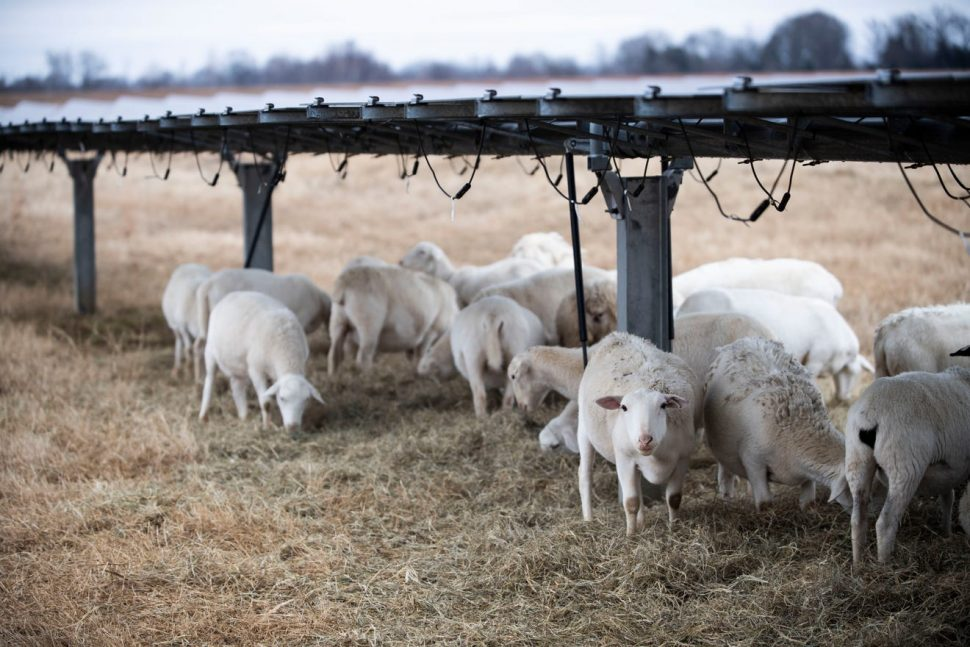 Sheep help improve the land of the Silicon Ranch project