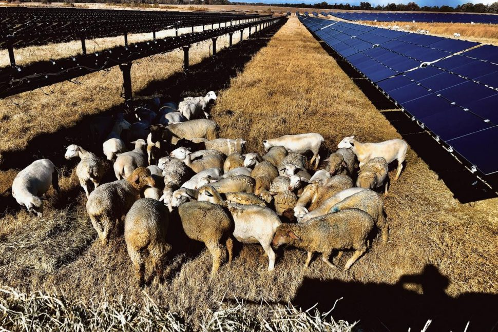 Sheep graze the land at Silicon Ranch's Providence Solar Farm in Tennessee