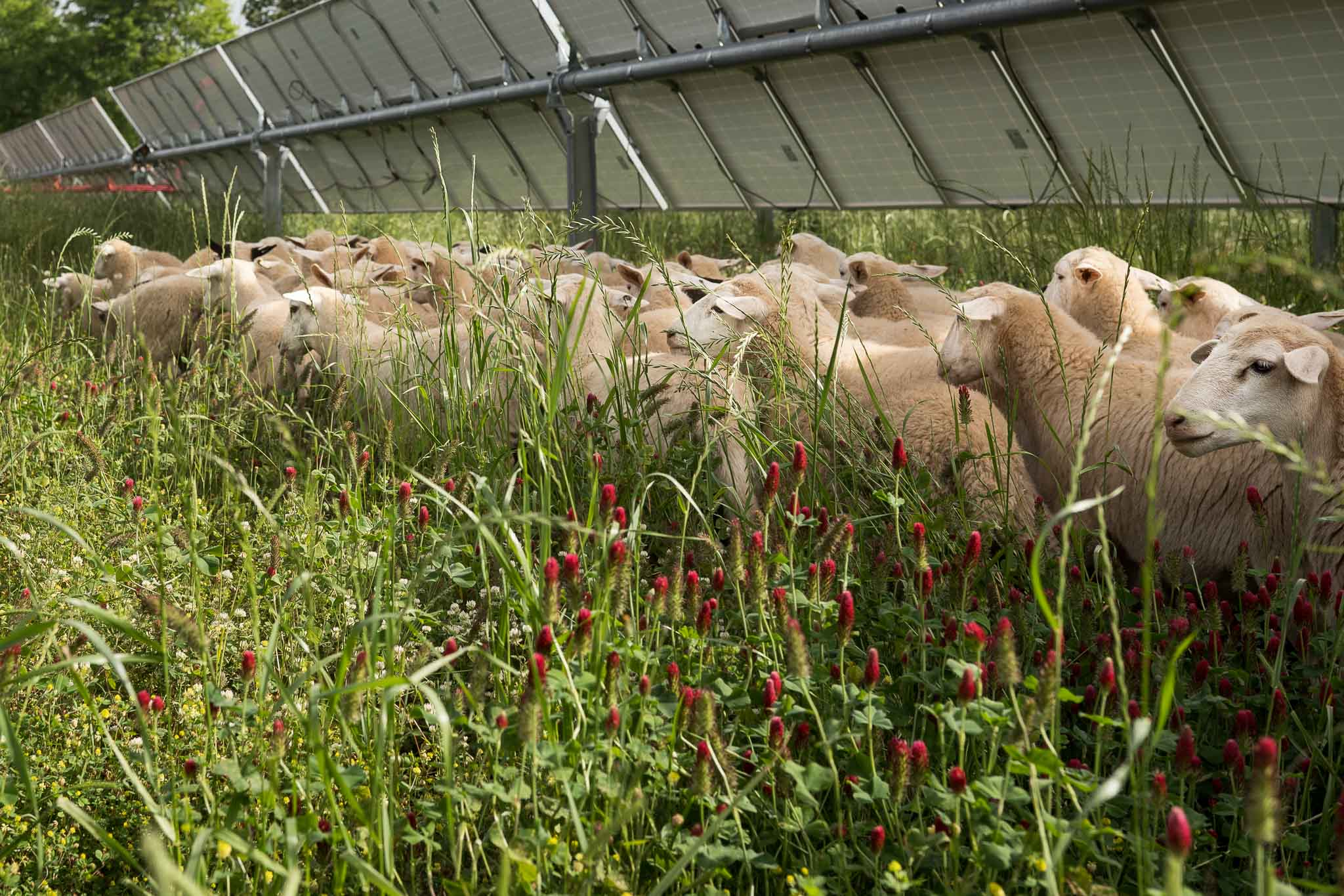 sheep grazing in regenerative energy farm