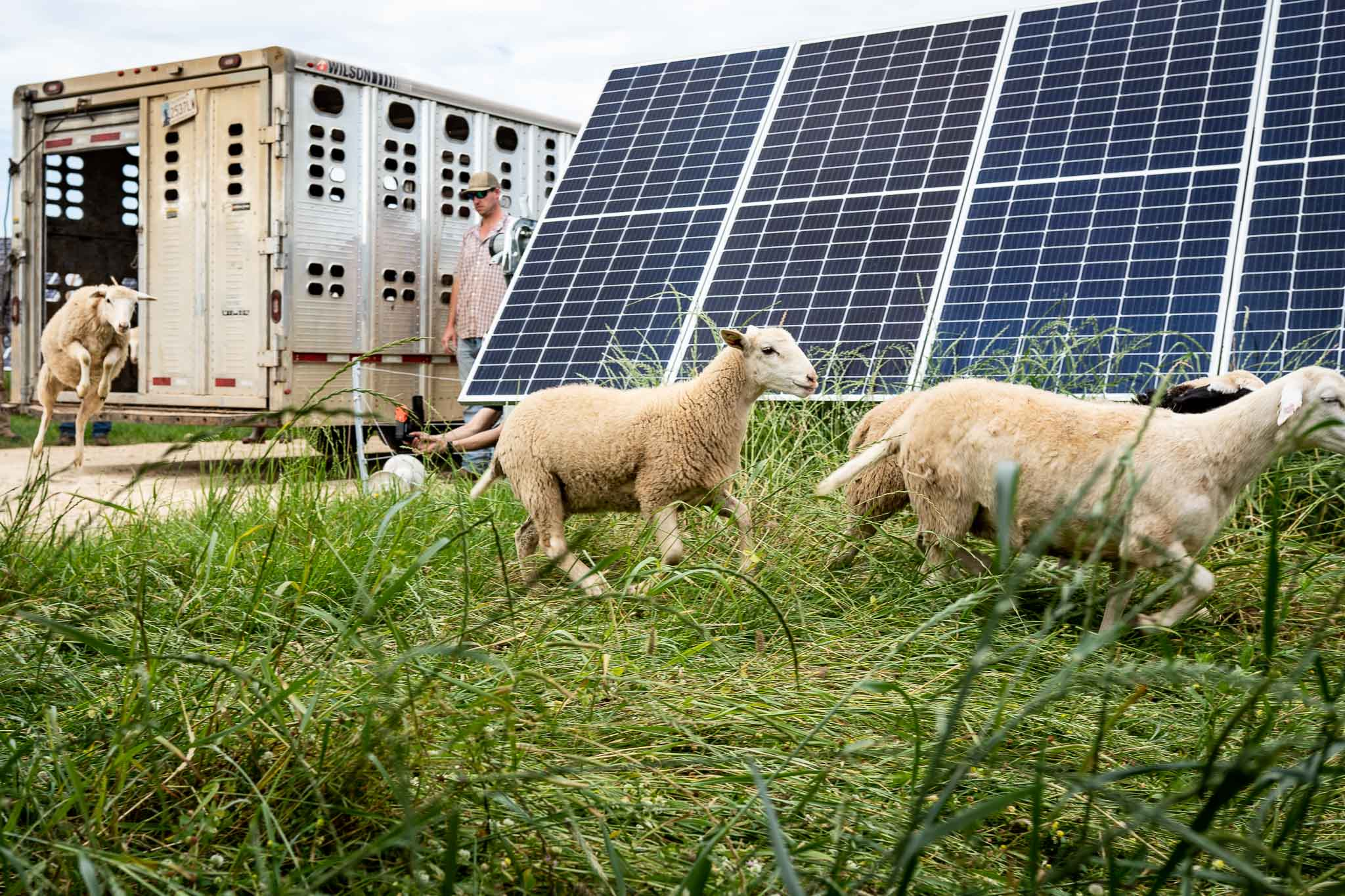 sheep running on regenerative energy farm